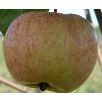 Istik Õunapuu Krapes Cukurins