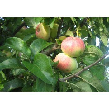 Õunapuu Martsipan istik