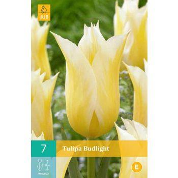 Lillesibul Tulp Budlight E 7tk