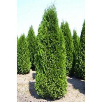 Elupuu Smaragd 80-100cm