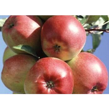 Istik Õunapuu Ligol