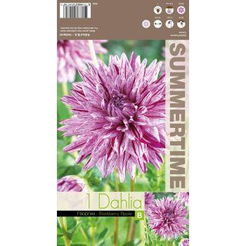 Lillesibul kaktusdaalia Blackberry Ripple roosakaslilla 8714665014716 12BLACKBERRYRIPPLE