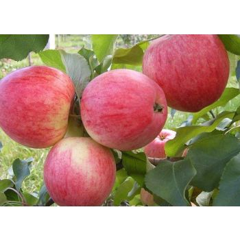 Istik Õunapuu Medunitsa