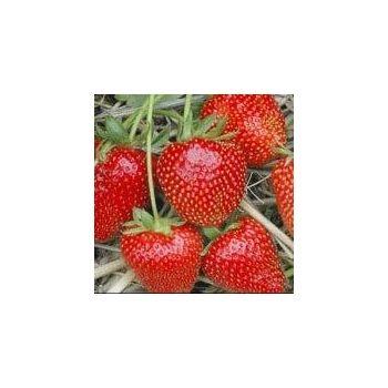 Taim aed-maasikas ´Faith´