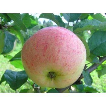 Õunapuu Lembitu istik