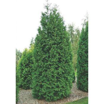 Elupuu Brabant 100-120cm