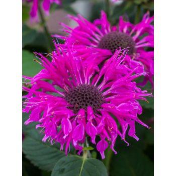 Taim Monarda Bee-Free 4741474452709