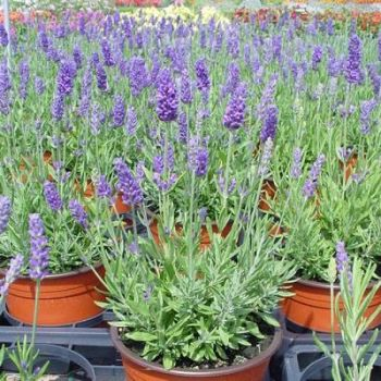 Lavendel potis