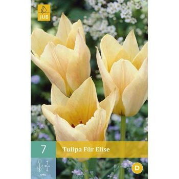 Lillesibul Tulp Für Elise 7tk