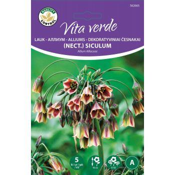 Lillesibul Mesilauk Allium Nect. Siculum Sitsiilia 5tk