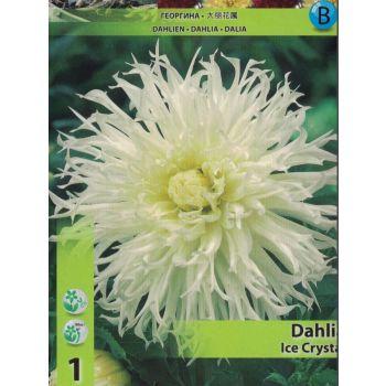 Lillesibul kaktusdaalia Ice Crystal 8712627100378 12ICECRYSTAL