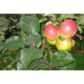 Istik Õunapuu Sügisdessert 2000001120248