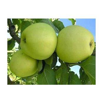 Õunapuu Valge klaar istik
