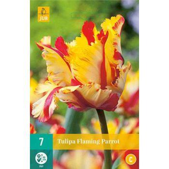 Lillesibul Tulp Flaming Parrot 7tk