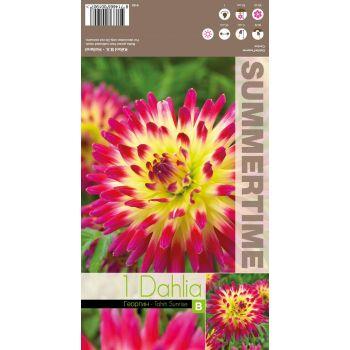 Lillesibul kaktusdaalia Tahiti Sunrise 8714665001907 12TAHITISUNRISE