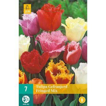 Lillesibul Tulp Fringed Mix 7tk