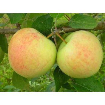 Õunapuu Suislepp istik