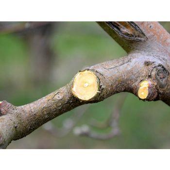 Õunapuude lõikamine