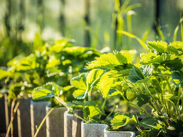 Maasikapeenra uuendamine