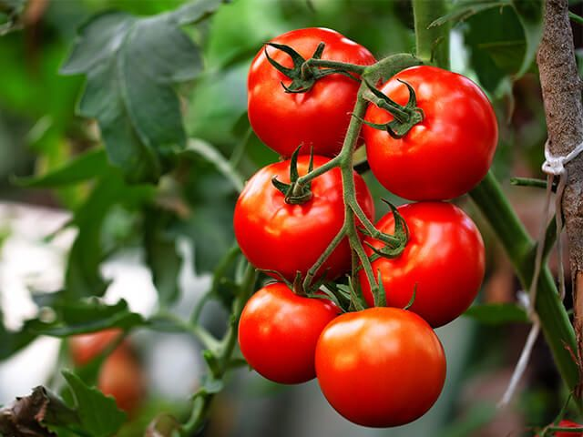 Tomat – mahlane amps koduaiast